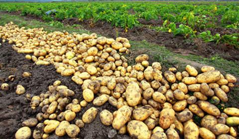 马铃薯细胞结构图手绘图